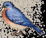 standing bluebird_trans.png