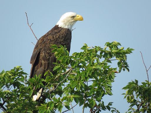 Eagle Fledge Celebration
