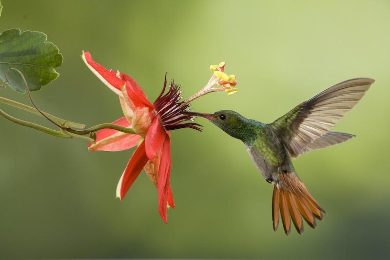 colibri-animaux-animal-totem-chamanisme-