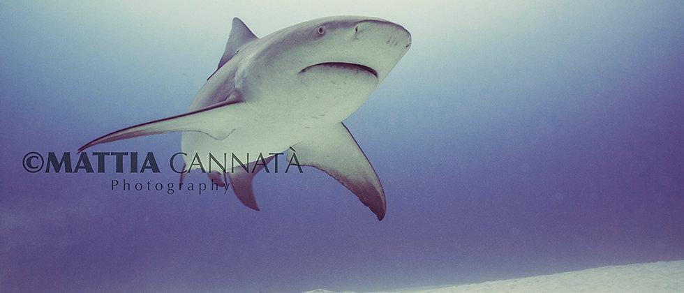 Bull Shark in the Wild