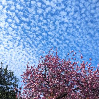 Kennington Park Blossom.jpg