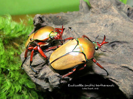 Eudicella smithi bertherandi