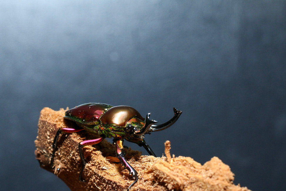 Red Rainbow Stag Beetle