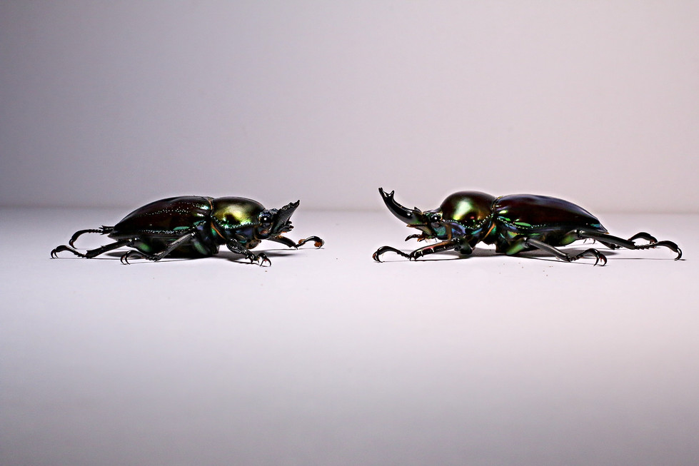 A pair of green type P. muelleri rainbow stag beetles face each other. Female on the right male on the left. Taken on Canon EOS 70D, using a 50mm macro lense