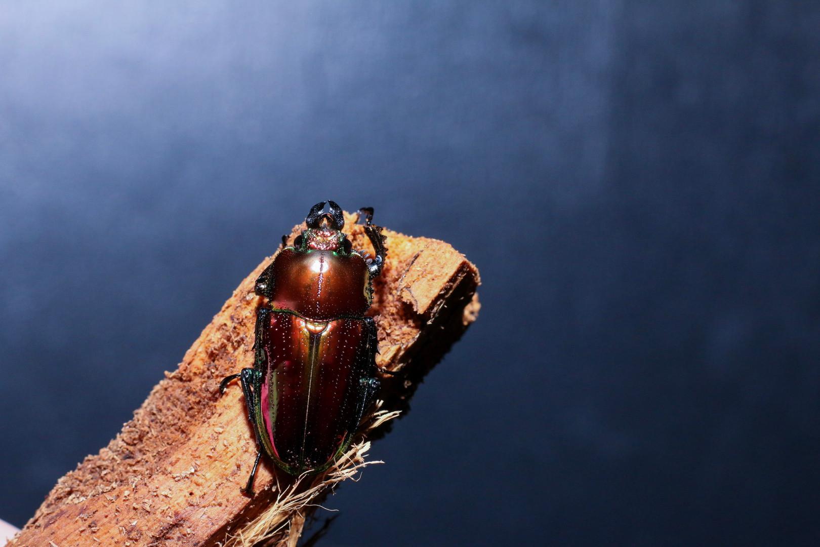 Rainbow Stag beetle Females