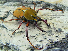 Dicranocephalus wallichi bourgoini