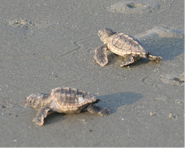 Hilton Head Island Turtle Protection Program