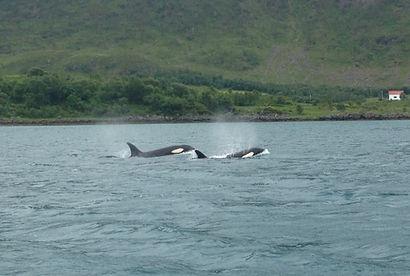 Whale safari, Northern Norway, Vesterålen, Lofoten, Bø