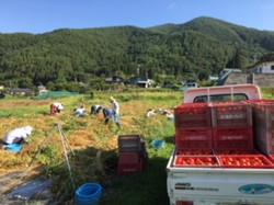 7月31日トマトの収穫