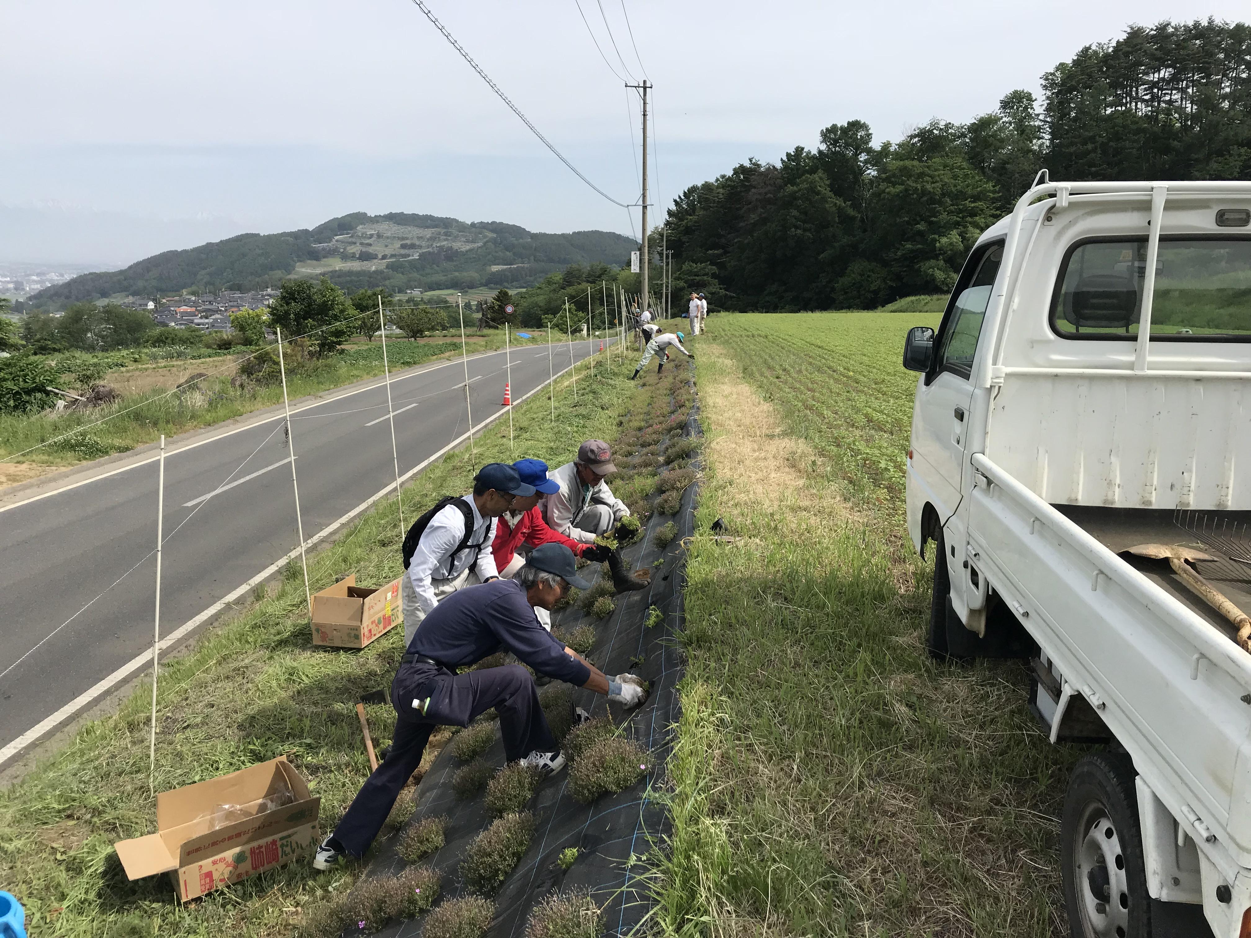 芝桜の捕植・草刈作業②