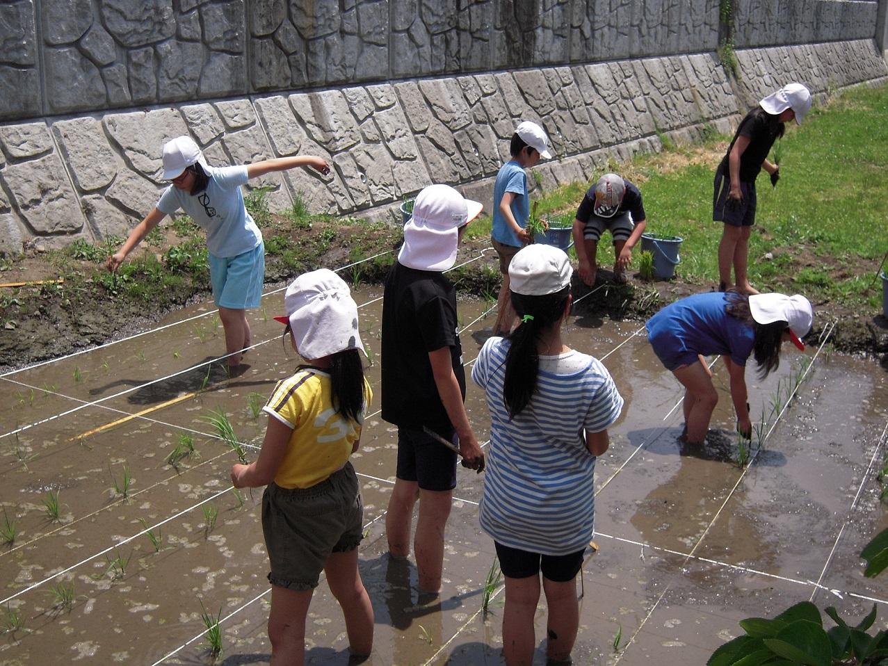 校庭手作り田圃の田植え(5年)