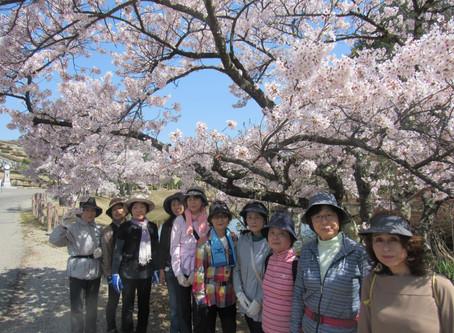桜満開春爛漫   ~福祉ひろばウォーキング~
