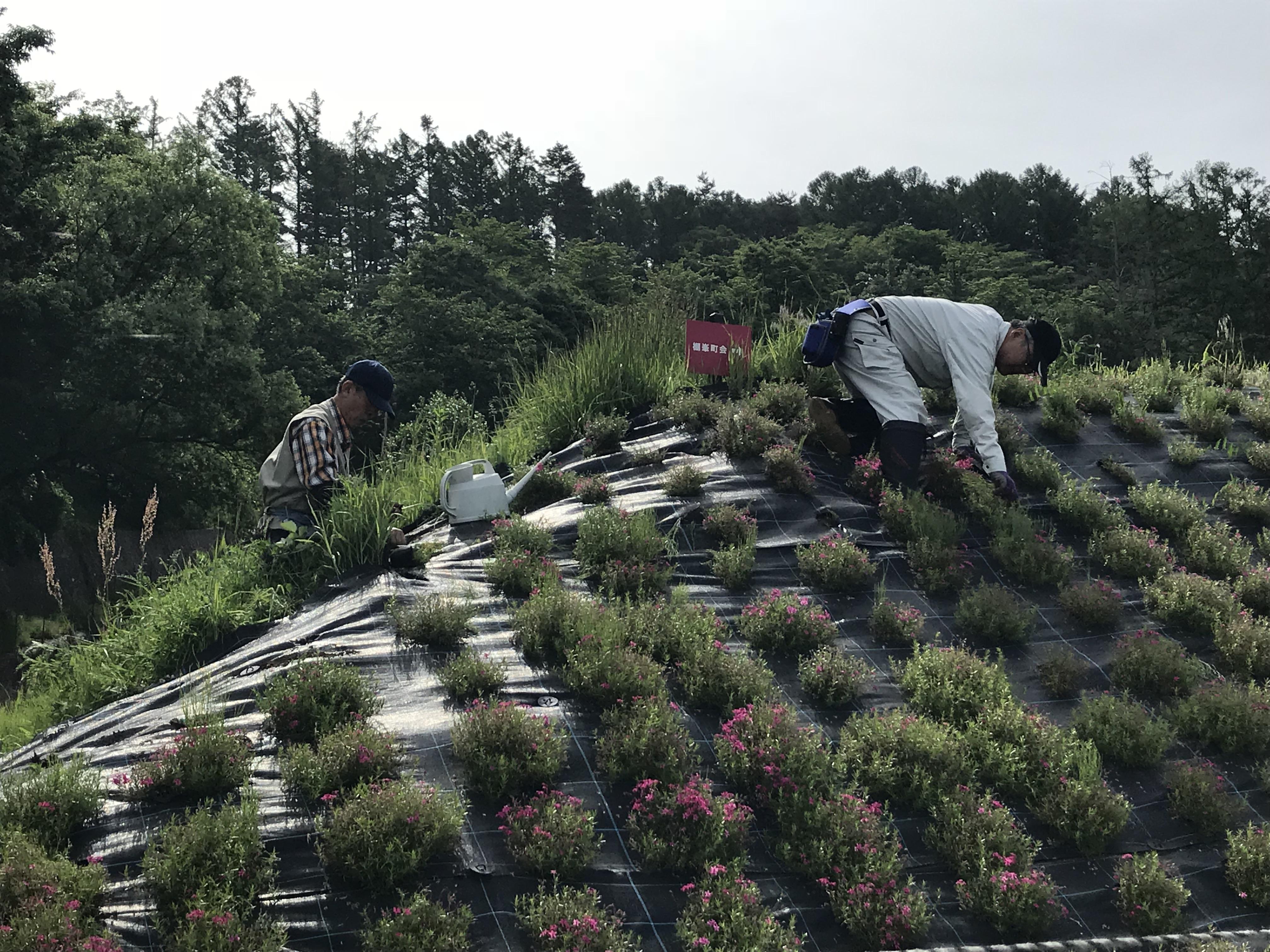 芝桜の捕植・草刈作業⑤