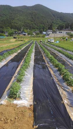 トマト作業②