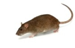 5669105-grey-rat.jpg
