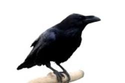 4570355-the-crow.jpg
