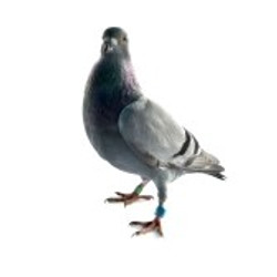7111818-one-grey-pigeon-isolated-on-white-background.jpg