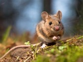 12285617-wild-wood-mouse-sitting-on-the-forest-floor.jpg