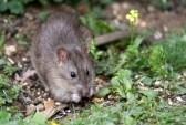 5069106-wild-brown-rat-eating-seeds-and-grain.jpg