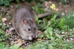 5069106-wild-brown-rat-eating-seeds-and-grain.jpg