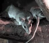 10064086-rats.jpg