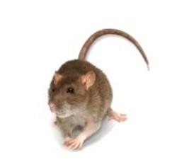 5669128-grey-rat.jpg