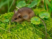 11334342-wood-mouse-sitting-in-green-moss.jpg