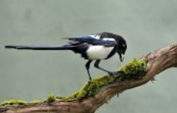 10998693-magpie-eating-in-a-trunk.jpg