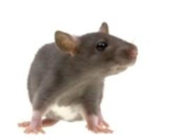 4458029-funny-rat-isolated-on-white-background.jpg