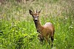 deer-10031517.jpg