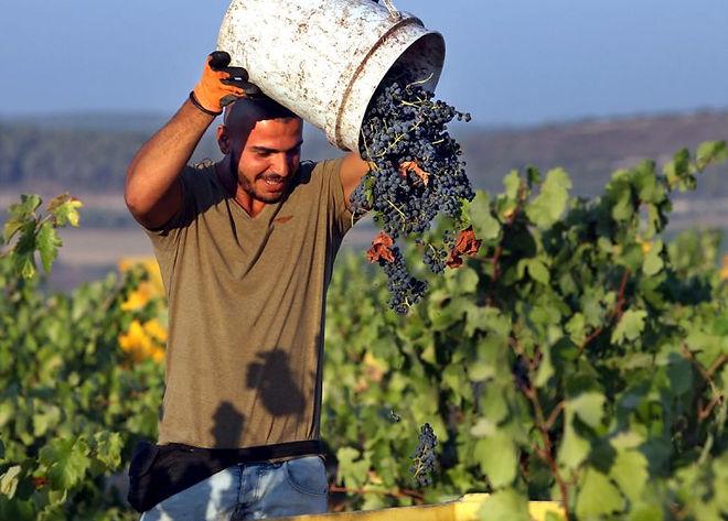 man harvesting grapes from an israeli vineyard