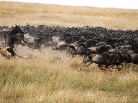 What the Great Wildebeest Migration is Really Like