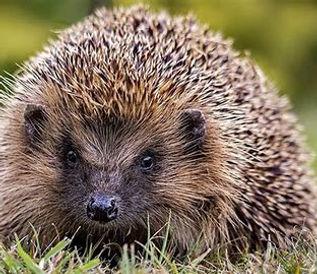 hedgehog.jfif