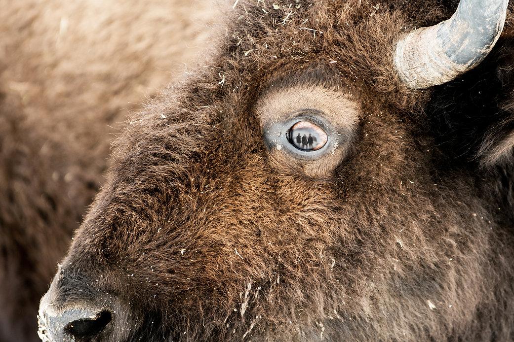Bison Eye.jpg