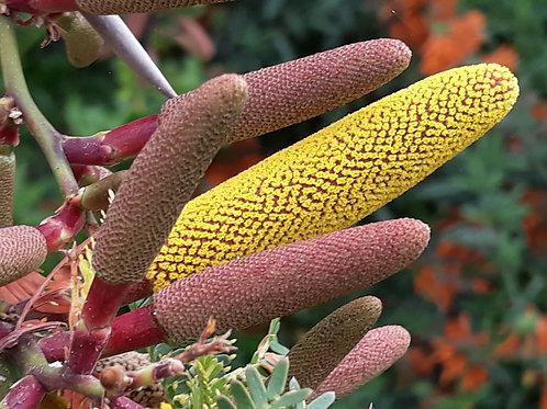 Acacia sphaerocephala /  bull's horn acacia ( pot carré 1 ou 2 L )