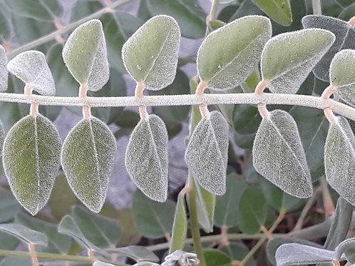 Sophora tomentosa / silver bush / buisson d'argent ( pot 1L )