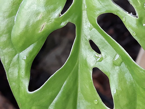 Monstera ' Monkey Leaf '( pot 1L )