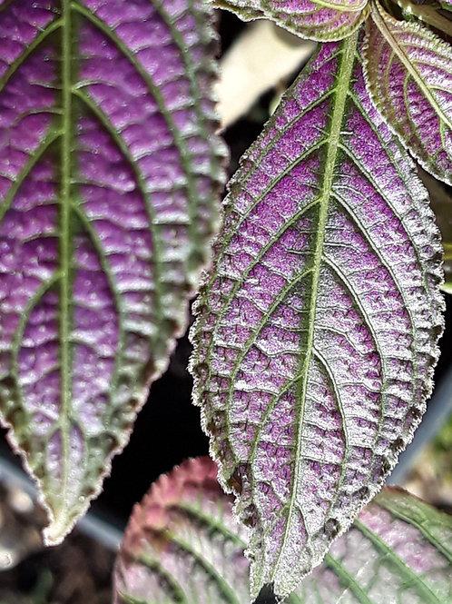Strobilanthes dyerianus / bouclier persan ( pot 1L )