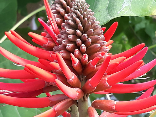 Erythrina coralloides ( pot 3L )