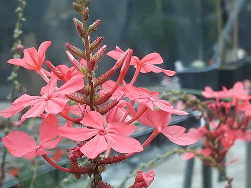 Plumbago indica / Plumbago rosea ( pot 2L )