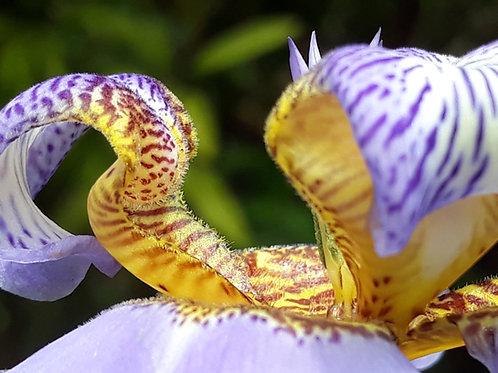 Neomarica caerulea / Iris géant du Brésil ( pot 0,5L )