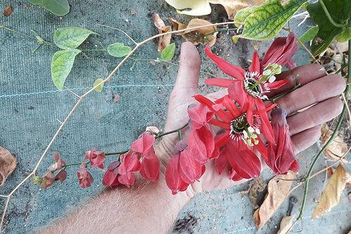 Passiflora racemosa ( pot 1 ou 2L)