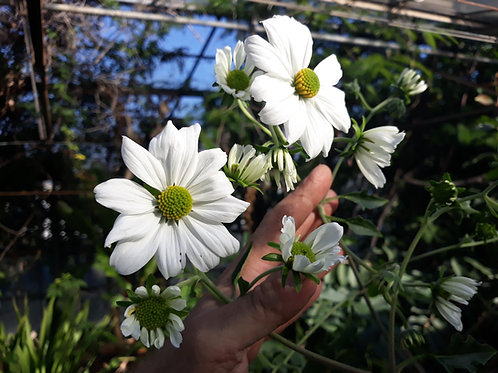 Tithonia diversifolia 'alba' ( pot 1 ou 2 L)
