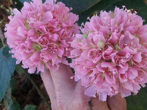 Dombeya wallichii ( pot 1L )