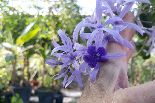 Petrea volubilis / liane diadème royal ( pot 1L )