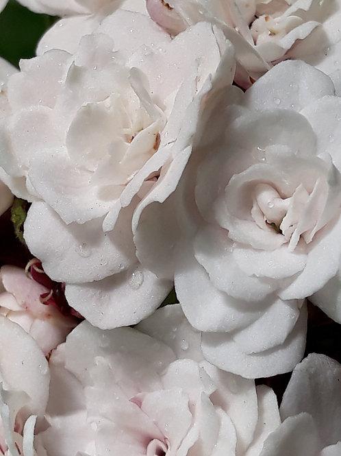 Clerodendron philippinum / C. fragrans 'FlorePleno' ( pot 1 L )