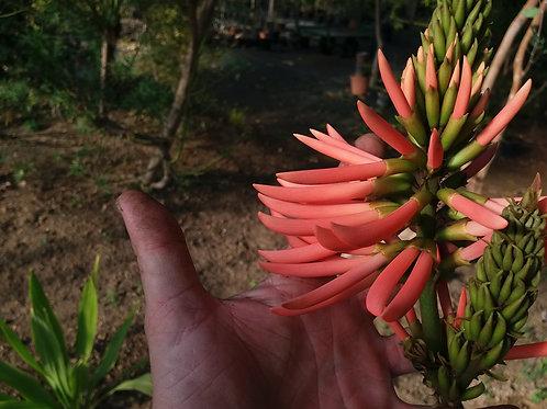 Erythrina speciosa 'Rosea' ( pot 2 ou 3L )