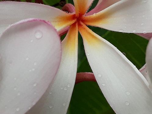Plumeria obtusa 'Singapore Pink'/Frangipanier nain ( pot  1L  )