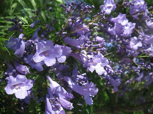 Jacaranda mimosaefolia ' Bonzai Blue ' ( pot 2 ou 3L )
