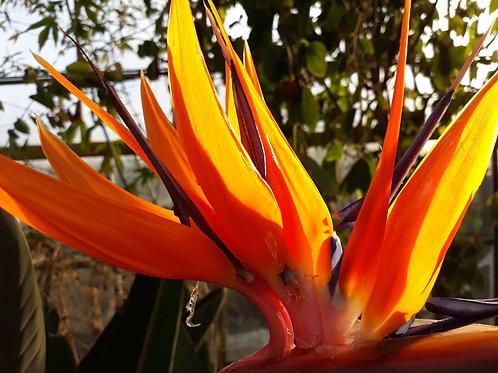 Strelizia reginae / oiseau de paradis   (  pot 1L  )